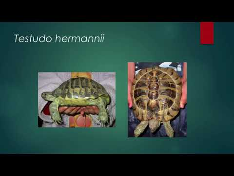 Husbandry of Mediterranean Tortoises